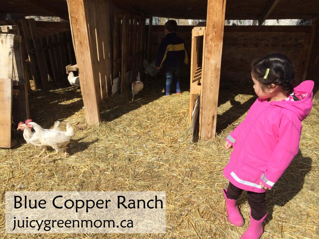 blue-copper-ranch-chickens-juicygreenmom