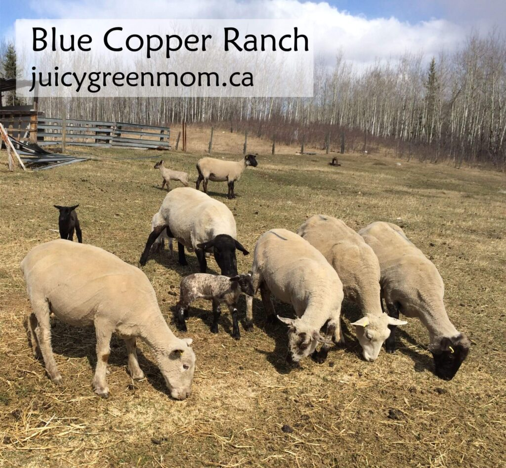 blue-copper-ranch-sheep-juicygreenmom