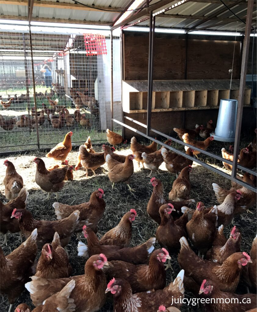 sunworks farm leaders in organic and humane farming part 1 laying hens juicygreenmom